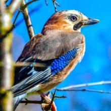 L'oiseau bleu de la forêt