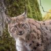 L ou histoire de lynx, un film-conte